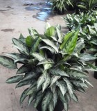 Aglaonema Black Lance chinese evergreen