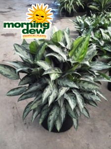 Aglaonema Black Lance chinese evergreen