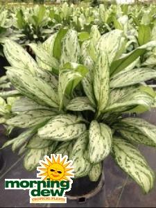 Aglaonema Christina chinese evergreen