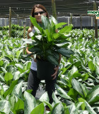 Aglaonema Diamond Bay 10 in