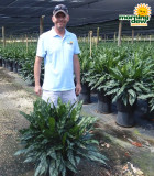 Aglaonema Emerald Beauty (Maria) 14 in