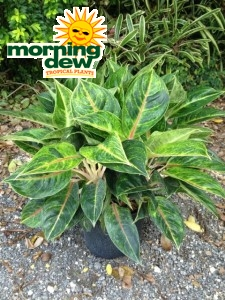 Aglaonema Emerald Holiday chinese evergreen