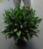 Aglaonema Gemini chinese evergreen