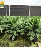 Aglaonema Gemini chinese evergreen