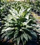 Aglaonema Indo Queen chinese evergreen