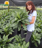 Aglaonema Mary Ann 8 in