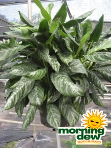 Aglaonema Moonlight Bay chinese evergreen