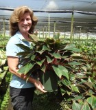 Aglaonema Sapphire Suzanne chinese evergreen