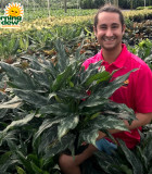 Aglaonema Shades 10 in