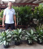 Aglaonema Silver Bay 10 in