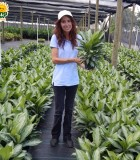 Aglaonema Silver Bay 6 in