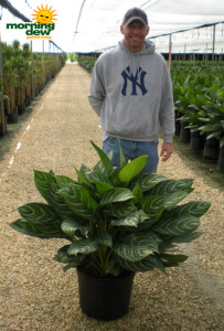 Aglaonema Stripes 14 in