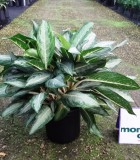 Aglaonema White Rain chinese evergreen