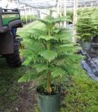 Araucaria Norfolk Island Pine 10 in