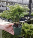 Araucaria Norfolk Island Pine 4 in