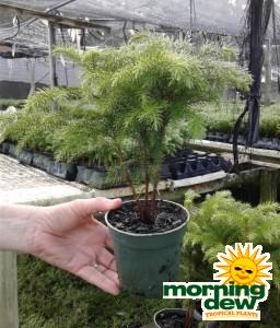 Araucaria Norfolk Island Pine 4 in