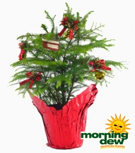 Araucaria Norfolk Island Pine Decorated
