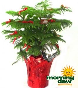 Araucaria Norfolk Island Pine Decorated