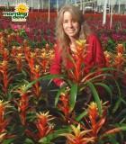 Bromeliad Guzmania Bridgette