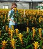 Bromeliad Guzmania Marjan