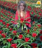 Bromeliad Guzmania Wendy
