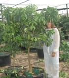 Citrus Grapefruit tree