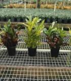 Croton Assorted