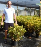 Croton Gold Dust 10 in