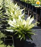 Dieffenbachia Starbrite 8 in