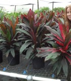 Cordyline Picasso's Red