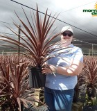 Dracaena Cordyline Red Star 8 in