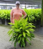 Dracaena Limelight 14 in