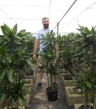 Dracaena Lind Cane 10 in