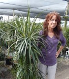 Dracaena Marginata Cutback Staggered 10 in