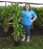 Dracaena Mass Cane corn plant