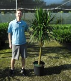 Dracaena Tarzan Tree Form 14 in