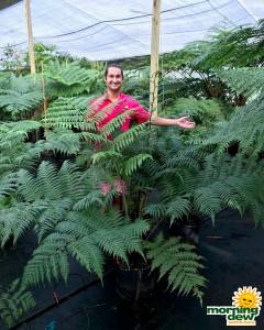 Fern Australian Tree 14 in