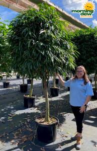 Ficus Alii Standard