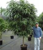 Ficus Alii Tree