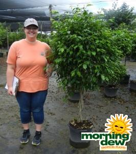 Ficus Benjamina Braid