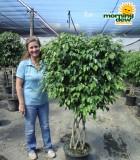 Ficus Benjamina Lattice Weave