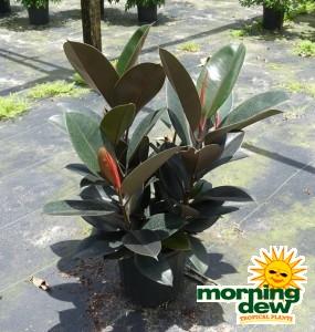 Ficus Elastica Burgundy rubber plant