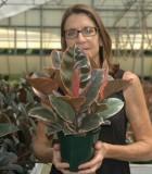Ficus Elastica Ruby rubber plant