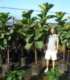 Ficus Lyrata tree fiddle leaf fig