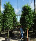 Ficus Nitida tree