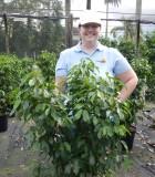 Ficus Spire 14 in