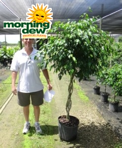 Ficus Wintergreen Braid