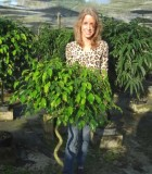 Ficus Wintergreen Corkscrew