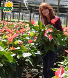 Flowering Anthurium Pacora 10 in