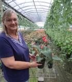 Anthurium Sangria
